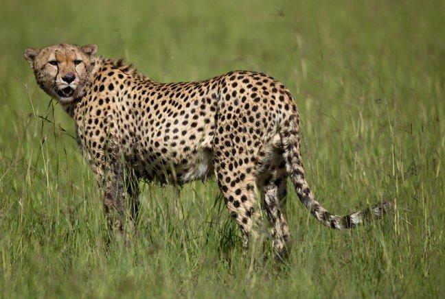 Cheetah na de Kill