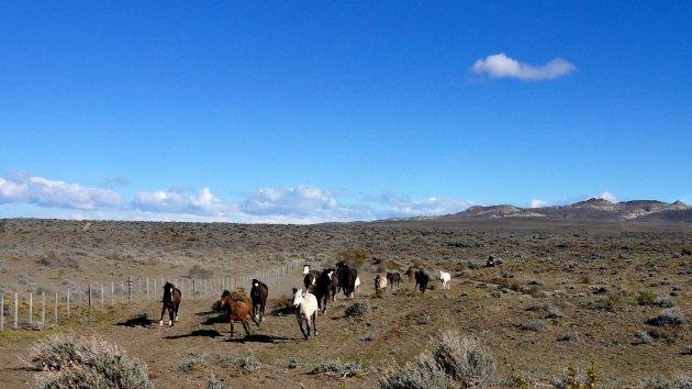 De vrije paarden van de pampa