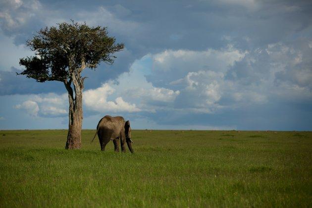 Olifant bij boom 3