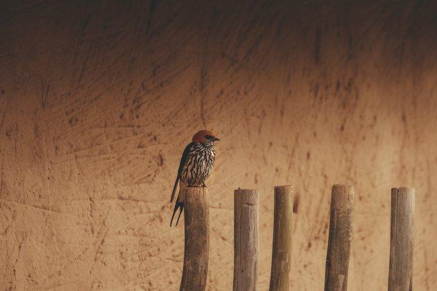 Kaapse zwaluw