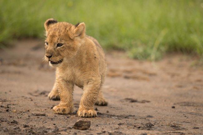 Lion Cup 2