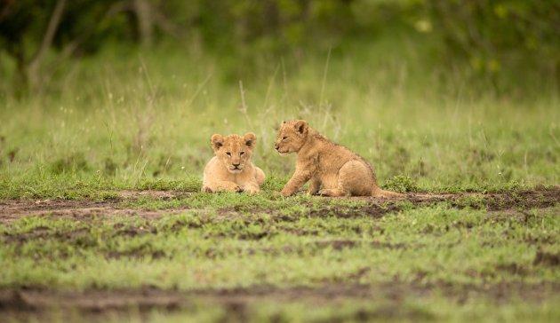 2 schattige lion cups