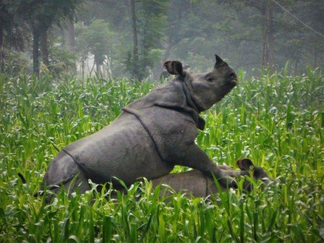 Indische neushoorn