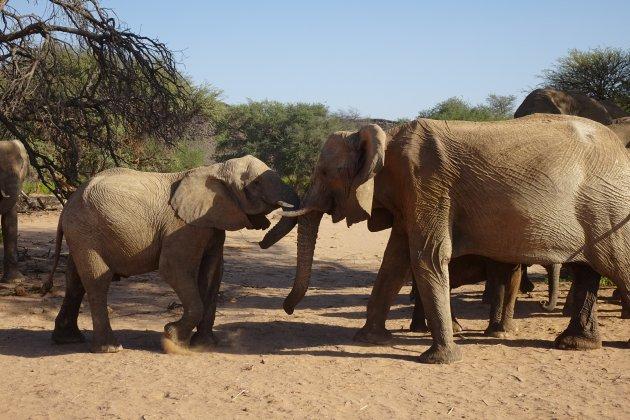 Meet and greet van de laatste woestijnolifanten van Afrika