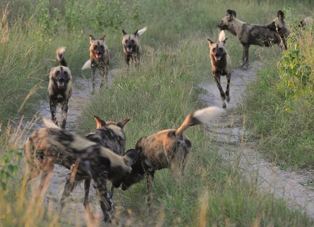 Wild dogs on the move...