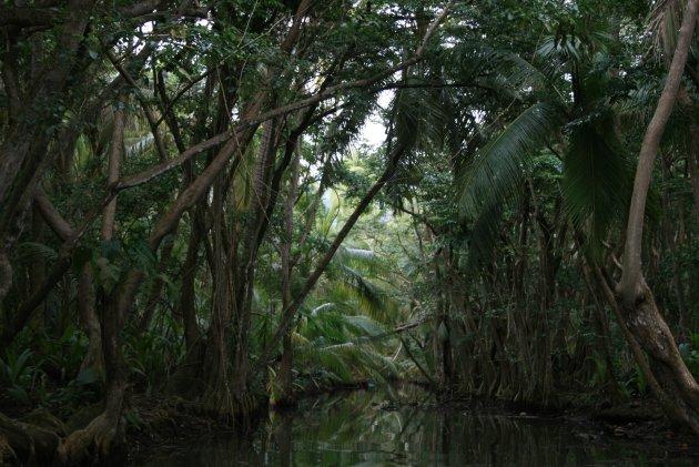 Varen door het Mangrove bos op Dominca