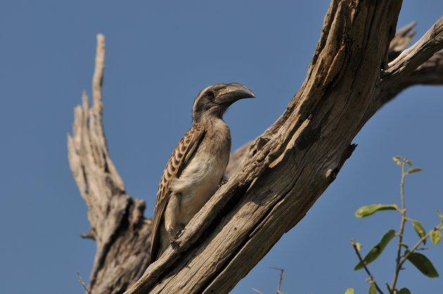 Baby African Grey Hornbill