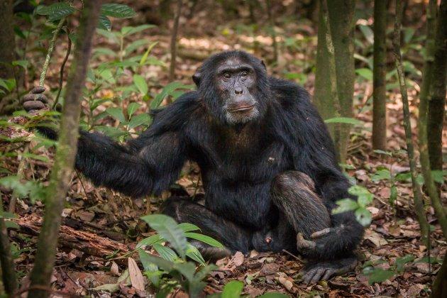 In het spoor van de chimpansees