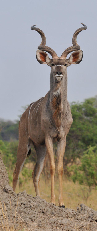 Kudu mannetje
