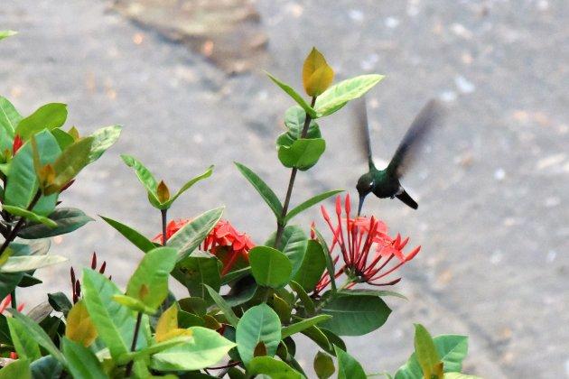Kolibrie in Santiago de Cuba