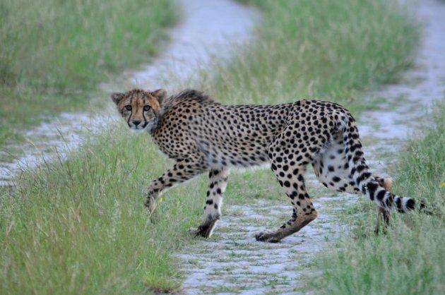 Cheetah (Jachtluipaard)
