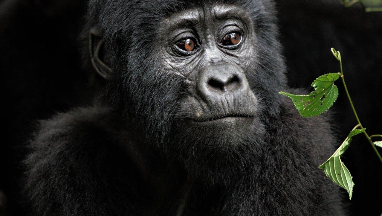 oog in oog met de gorilla's