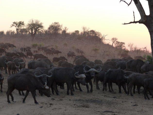 Kudde buffels tijdens ''golden hour''