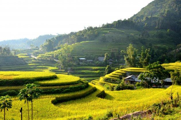 Goudgele rijstvelden.