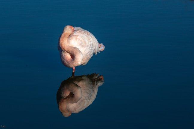 Reflectie van een flamingo