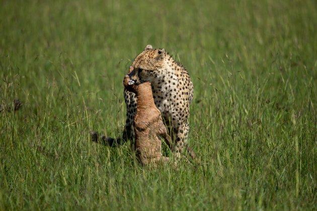 Cheetah met prooi 2