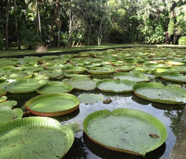 Gigantische waterlelies