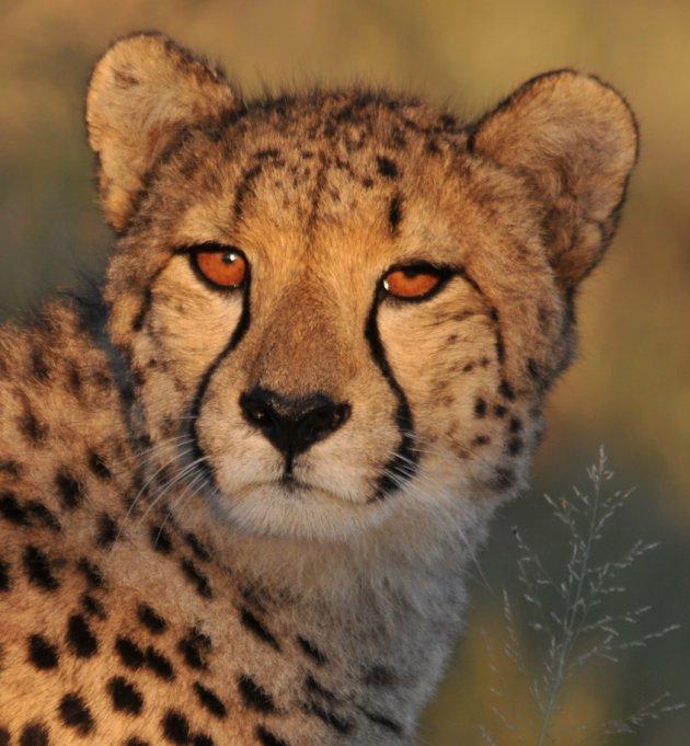 Cheetah in ochtendgloren...