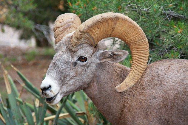 Canyon big horn
