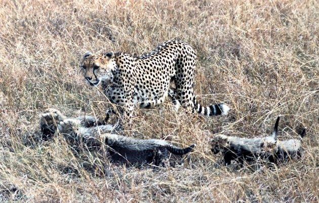 Cheetah met 5 jongen