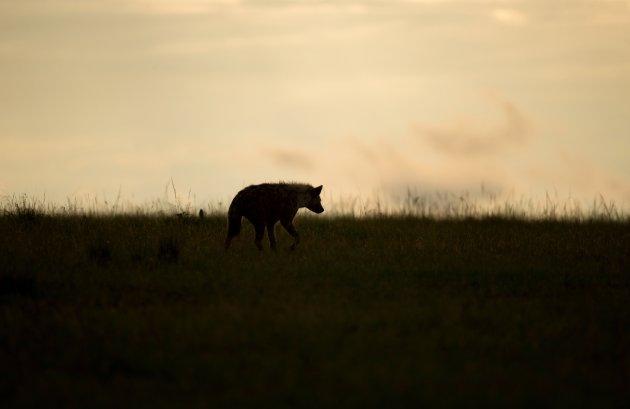 Hyena bij zonsondergang