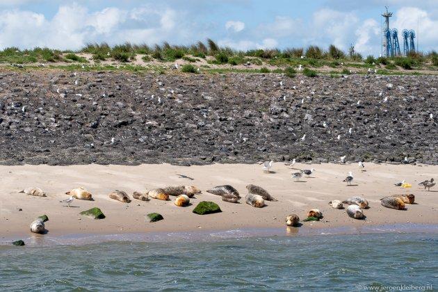 Zeehonden op de Maasvlakte