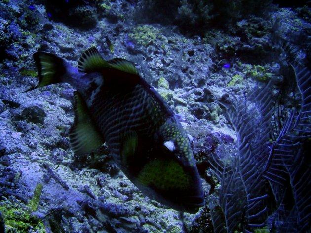 aanval van een triggerfish
