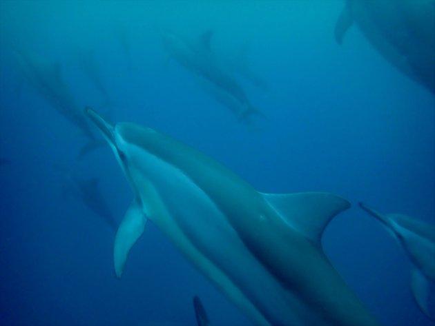 Langsnuitdolfijnen