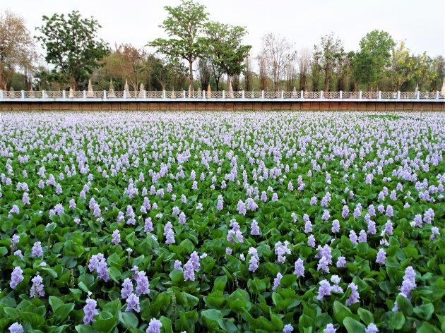 Volgegroeid met Water Hyacint.