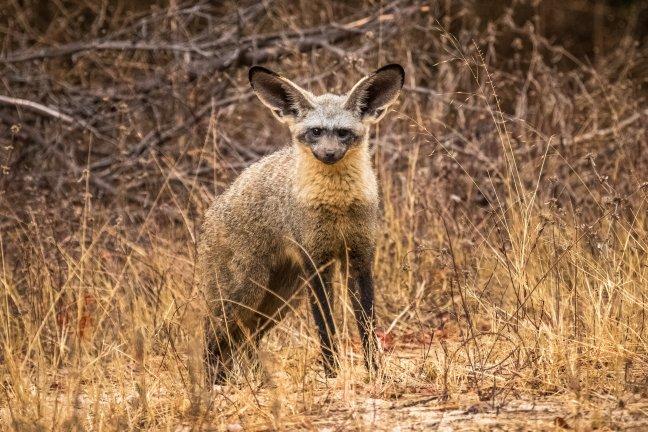 De vos met de grote oren