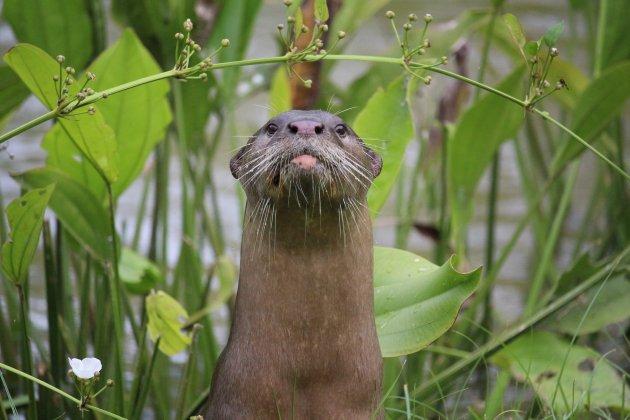 Otters in de city!