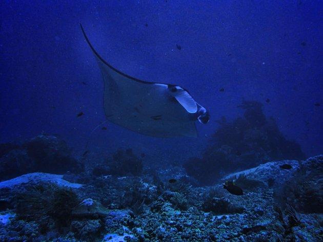 Manta's in Mekassar Reef
