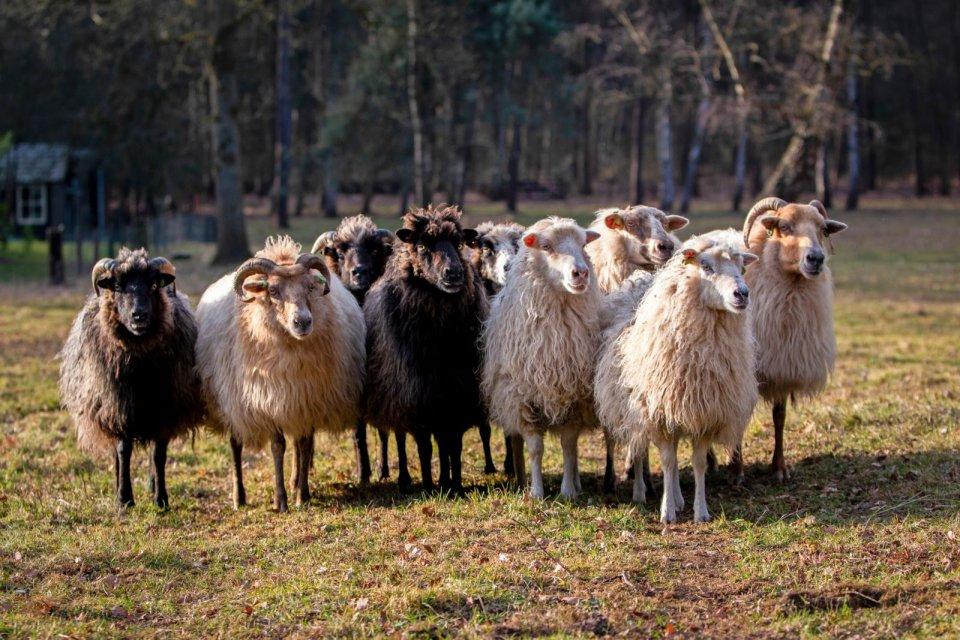 schapen utrecht