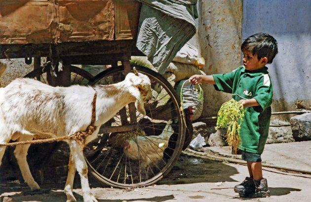 De geit voeren in Tamil Nadu