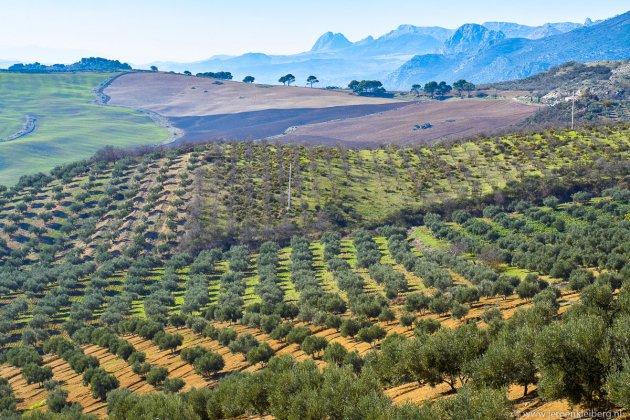 Olijfgaarden in Andalusië