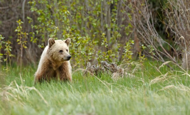 Blonde Grizzly.