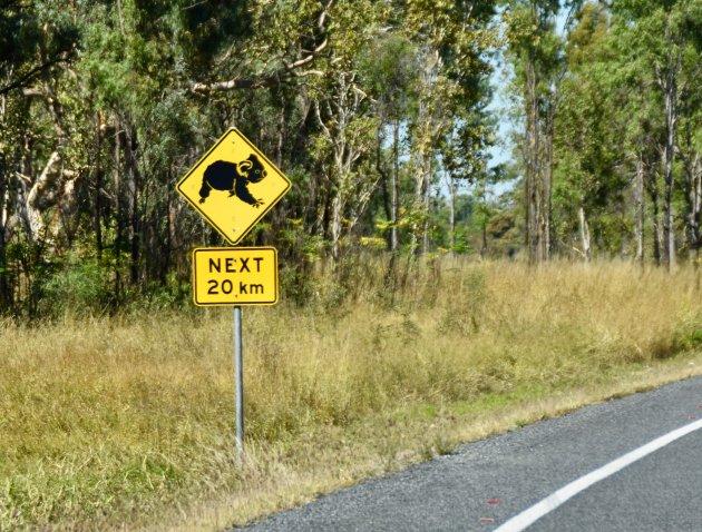 Overstekende koala's