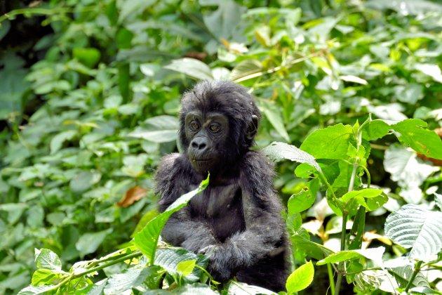 Baby gorilla