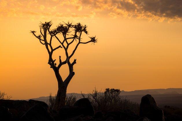 Kokerboom bij zonsondergang