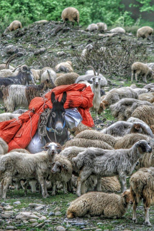 waken over de schapen