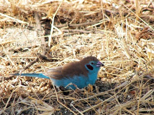 Blauw fazantje