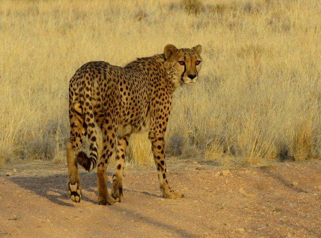 Cheeta in sunset