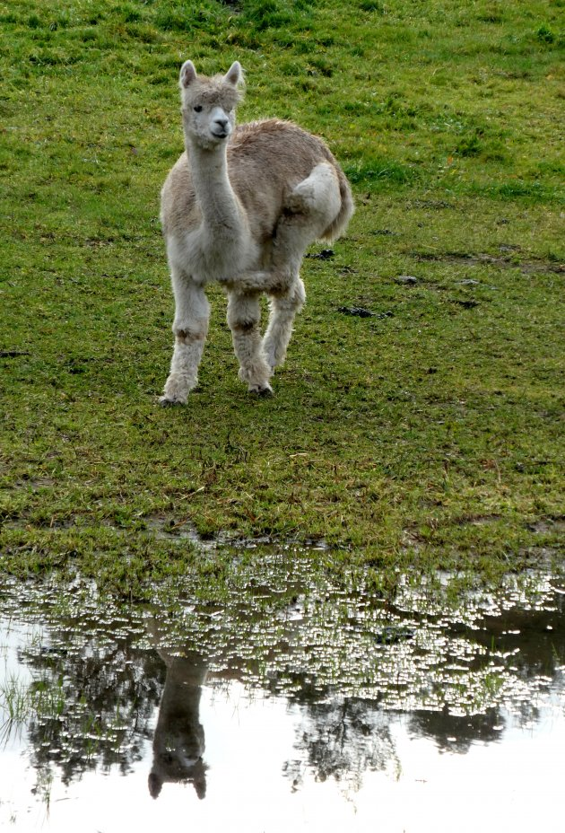 Jonge Alpaca