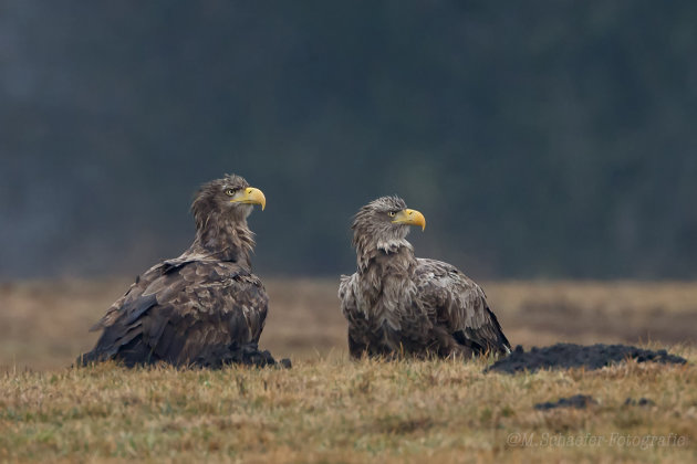 Two Grumpy Eagle's