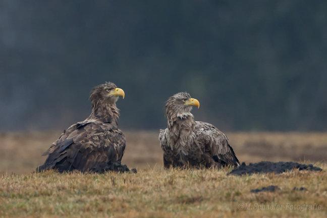 Two Grumpy Eagle's