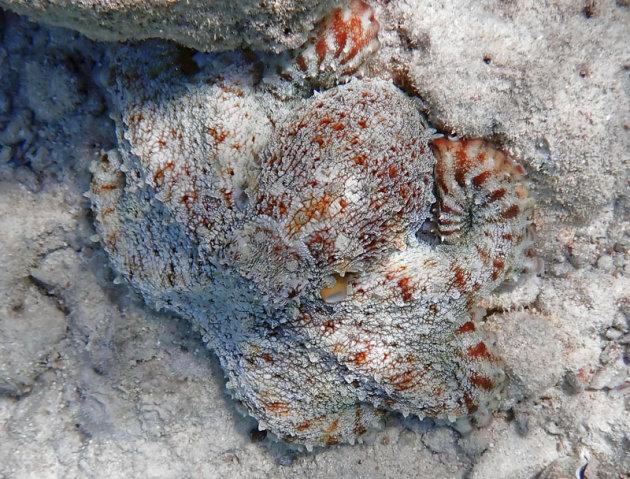 Octopus in een van zijn vele gedaantes!