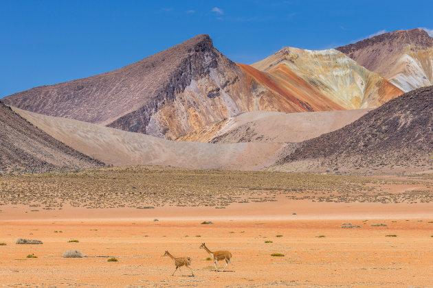 Suriplaza met weglopende vicuña's