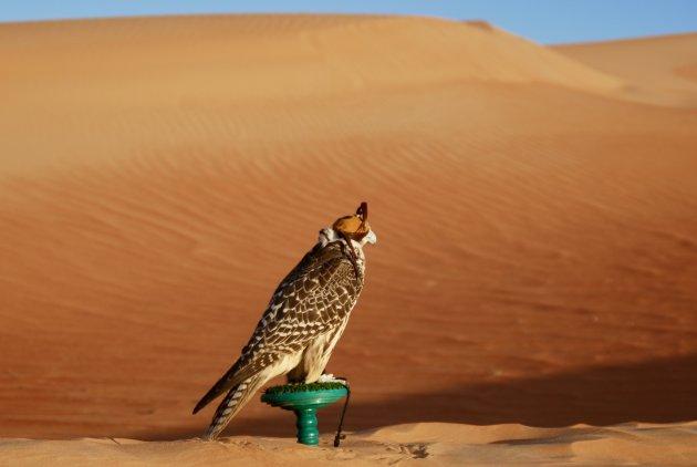 Valkenier in de woestijn
