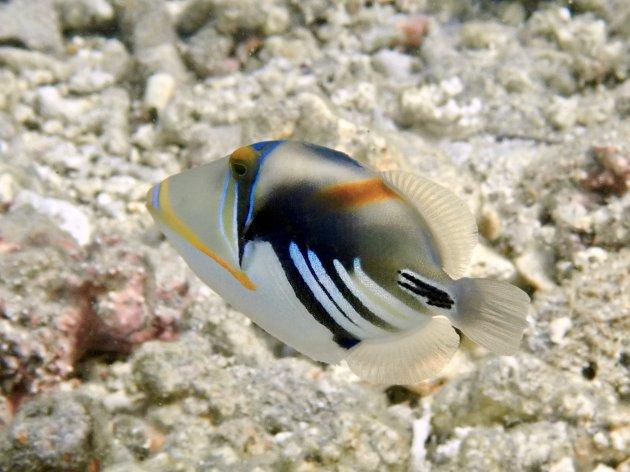 Picassotrekkervis