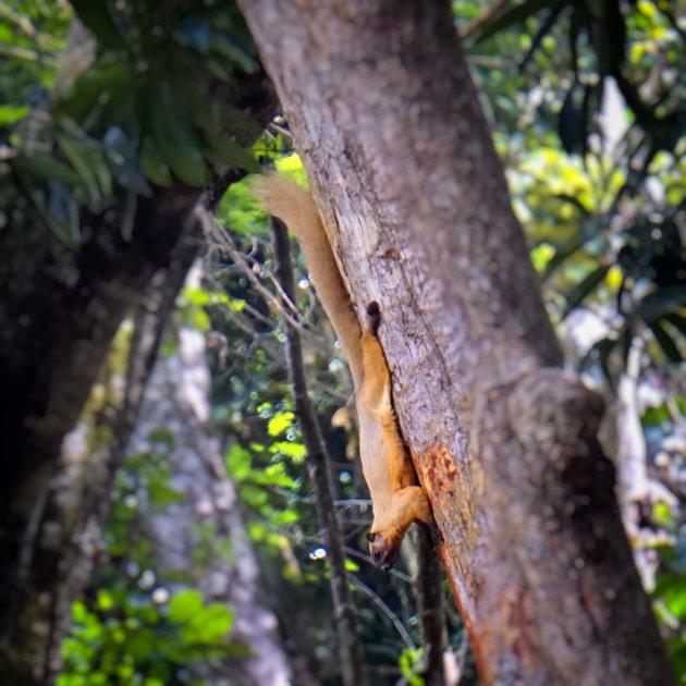 Reuze eekhoorn